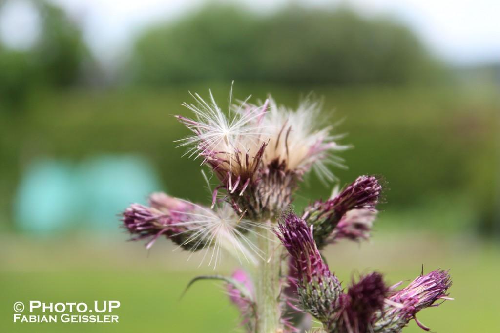 Distel, Nahaufnahme einer Blume